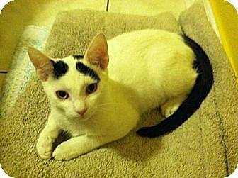Domestic Shorthair Kitten for adoption in Miami, Florida - Darwin