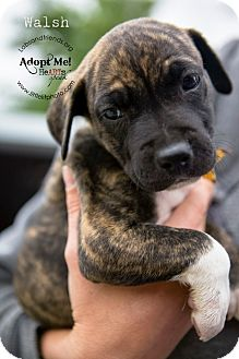 Rat Terrier/Boxer Mix Puppy for adoption in Burbank, California - Walsh - 8 wk old puppy