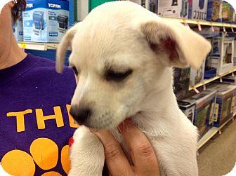 Chihuahua/Pug Mix Puppy for adoption in Walker, Louisiana - Lori