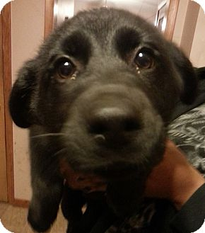 Labrador Retriever/German Shepherd Dog Mix Puppy for adoption in Lima, Ohio - Aspen