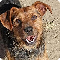 Adopt A Pet :: Scruffy - PENDING, in Maine! - kennebunkport, ME