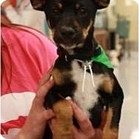 Adopt A Pet :: Scully - Arlington, TX