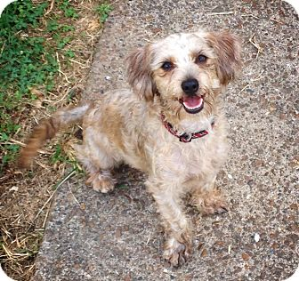 Poodle (Miniature)/Dachshund Mix Puppy for adoption in Nashville, Tennessee - Biscuit