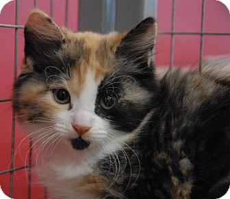 Domestic Mediumhair Kitten for adoption in Winchendon, Massachusetts - Mariah