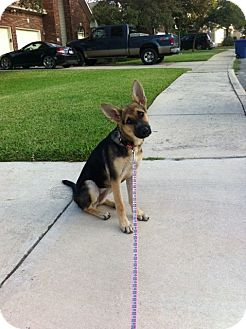 German Shepherd Dog Puppy for adoption in Dripping Springs, Texas - Jules