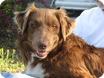 Border Collie Mix Dog for adoption in Corning, California - AIDEN