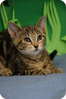 Domestic Shorthair Cat for adoption in Bradenton, Florida - Fawn