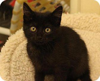 Domestic Shorthair Kitten for adoption in Atlanta, Georgia - Jed