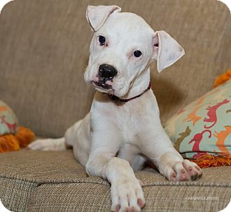 Boxer Mix Puppy for adoption in Baton Rouge, Louisiana - Annabelle