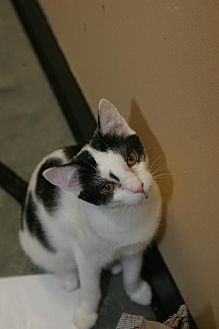 Domestic Shorthair Cat for adoption in Capshaw, Alabama - Olive Oyl