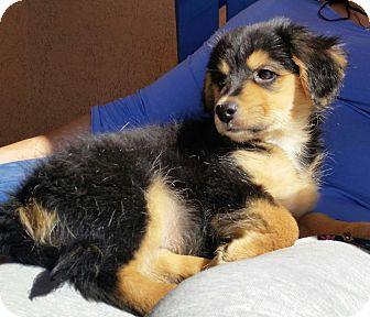 Dachshund Mix Puppy for adoption in Peoria, Arizona - DITTO