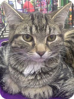 Domestic Shorthair Kitten for adoption in Columbus, Ohio - Eclipse