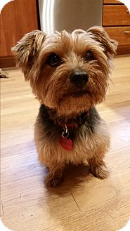 Yorkie, Yorkshire Terrier Dog for adoption in Albany, Oregon - Snickers