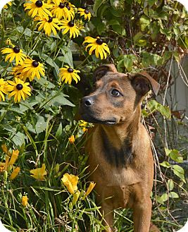 Shepherd (Unknown Type)/Rhodesian Ridgeback Mix Puppy for adoption in Meridian, Idaho - Louie