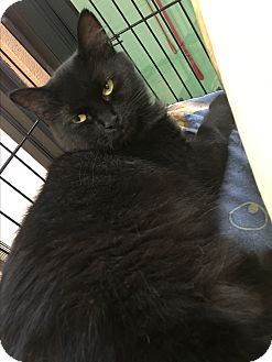 Domestic Mediumhair Cat for adoption in Gadsden, Alabama - Aunt Wendy