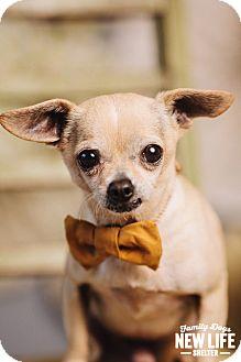Chihuahua Dog for adoption in Portland, Oregon - Greg