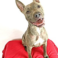 American Pit Bull Terrier/American Staffordshire Terrier Mix Dog for adoption in Toledo, Ohio - Ziggy
