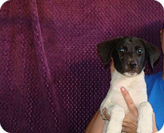 German Shorthaired Pointer/Labrador Retriever Mix Puppy for adoption in Oviedo, Florida - Winston