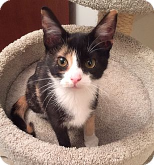 Domestic Shorthair Kitten for adoption in Covington, Kentucky - Ophelia
