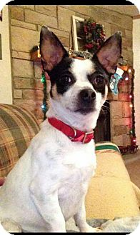 Chihuahua/Terrier (Unknown Type, Medium) Mix Dog for adoption in Woodbridge, Virginia - Snoopy