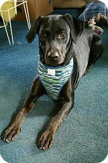Labrador Retriever Dog for adoption in Akron, Ohio - Peepers