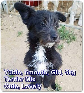 Schnauzer (Miniature)/Terrier (Unknown Type, Small) Mix Puppy for adoption in LONG ISLAND CITY, New York - Yubin