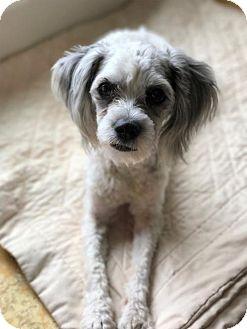 Toy Poodle/Shih Tzu Mix Dog for adoption in Arlington, Virginia - Hansi