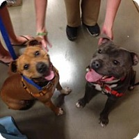 Adopt A Pet :: Smokey & Bandit - pocket pitties! - Columbia, MD
