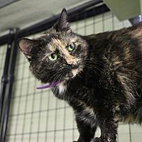 Domestic Mediumhair Cat for adoption in Holland, Michigan - Love Bug