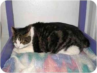 Manx Cat for adoption in El Cajon, California - Max