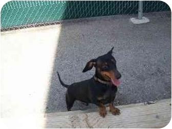 Dachshund Dog for adoption in Spokane, Washington - Riley