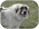 Great Pyrenees/Anatolian Shepherd Mix Dog for adoption in Plainfield, Illinois - Avia