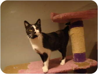 Domestic Shorthair Cat for adoption in Muncie, Indiana - Finley--PETSMART
