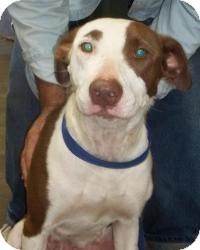 Pointer Mix Dog for adoption in Gaffney, South Carolina - North
