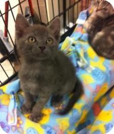 Exotic Kitten for adoption in Columbus, Georgia - Bam Bam 643B