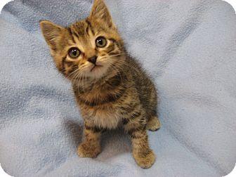 Domestic Shorthair Kitten for adoption in Eagan, Minnesota - Blitzen