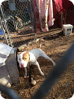 American Pit Bull Terrier/American Bulldog Mix Dog for adoption in Wanaque, New Jersey - RUGER