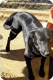 Labrador Retriever Dog for adoption in Moulton, Alabama - Cindy
