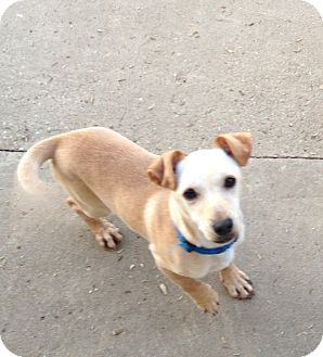 Chihuahua/Terrier (Unknown Type, Small) Mix Dog for adoption in Gustine, California - JAG