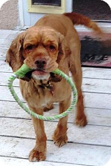 Cocker Spaniel Dog for adoption in Santa Barbara, California - Chance