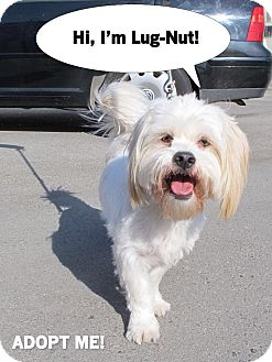 Lhasa Apso Mix Dog for adoption in Los Angeles, California - LUG NUT