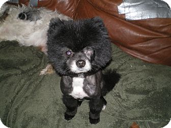 Pomeranian Dog for adoption in Apex, North Carolina - Pepper
