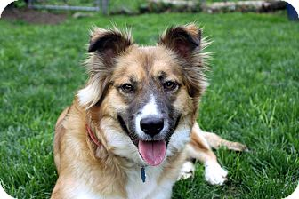 Collie Mix Dog for adoption in Salem, New Hampshire - SHELBY