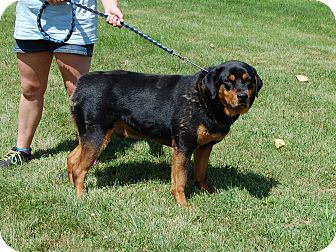 Rottweiler Dog for adoption in North Judson, Indiana - Ozzie