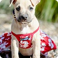 Adopt A Pet :: Jill - Redondo Beach, CA