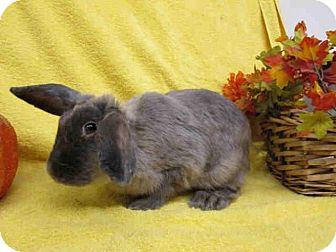 Lop-Eared Mix for adoption in Los Angeles, California - Blue Belle