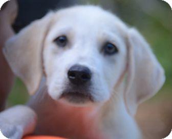 Labrador Retriever Mix Puppy for adoption in Woodlyn, Pennsylvania - Boscoe