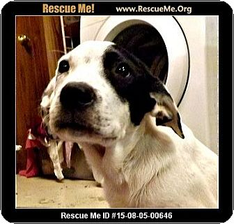 Australian Cattle Dog/Border Collie Mix Dog for adoption in Columbus, Kansas - Luna