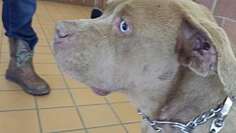 Dogue de Bordeaux Mix Dog for adoption in Chicagoland area, Illinois - STORM