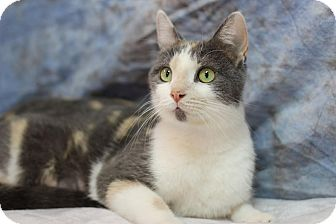 Domestic Shorthair Cat for adoption in Midland, Michigan - Lilly